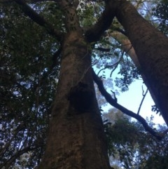 Brachychiton populneus subsp. populneus (Kurrajong) at Budgong, NSW - 14 Nov 2019 by Ry