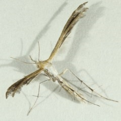 Megalorhipida leucodactyla (Spiderling Plume Moth) at Kambah, ACT - 15 Nov 2019 by Marthijn