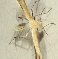 Megalorhipida leucodactyla at Kambah, ACT - 15 Nov 2019