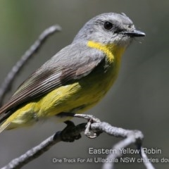 Eopsaltria australis (Eastern Yellow Robin) at One Track For All - 20 Oct 2019 by Charles Dove