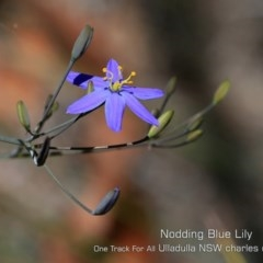 Thelionema caespitosum (Tufted Blue Lily) at South Pacific Heathland Reserve - 20 Oct 2019 by CharlesDove
