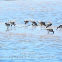 Calidris canutus (Red Knot) at Jervis Bay National Park - 20 Oct 2019 by Charles Dove