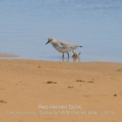 Calidris (Ereunetes) ruficollis (Red-necked Stint) at Jervis Bay National Park - 20 Oct 2019 by Charles Dove