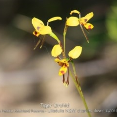 Diuris sulphurea (Tiger Orchid) at South Pacific Heathland Reserve - 21 Oct 2019 by CharlesDove