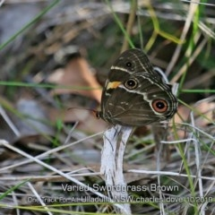 Tisiphone abeona (Varied Swordgrass Brown) at One Track For All - 20 Oct 2019 by Charles Dove