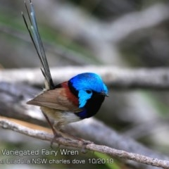 Malurus lamberti (Variegated Fairy-wren) at One Track For All - 20 Oct 2019 by CharlesDove
