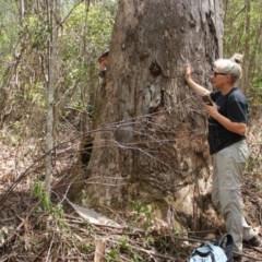 Unidentified Gum Tree (TBC) at Yadboro State Forest - 16 Nov 2019 by nickhopkins