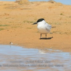 Gelochelidon nilotica (Gull-billed Tern) at Jervis Bay National Park - 2 Oct 2019 by Charles Dove