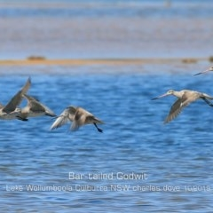 Limosa lapponica (Bar-tailed Godwit) at Jervis Bay National Park - 2 Oct 2019 by Charles Dove