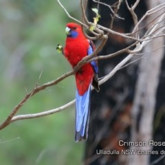 Platycercus elegans (Crimson Rosella) at South Pacific Heathland Reserve - 2 Oct 2019 by Charles Dove