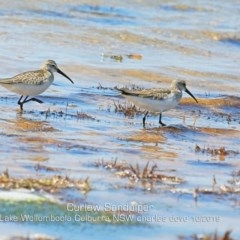 Calidris ferruginea (Curlew Sandpiper) at Jervis Bay National Park - 2 Nov 2019 by Charles Dove