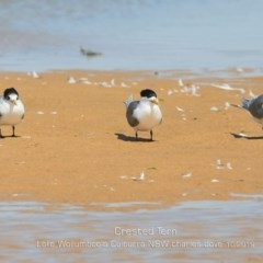 Thalasseus bergii (Crested Tern) at Jervis Bay National Park - 2 Oct 2019 by Charles Dove