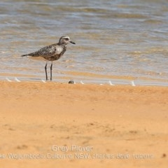Pluvialis squatarola (Grey Plover) at Jervis Bay National Park - 2 Oct 2019 by Charles Dove