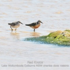 Calidris canutus (Red Knot) at Jervis Bay National Park - 2 Oct 2019 by Charles Dove