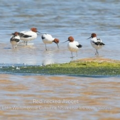 Recurvirostra novaehollandiae (Red-necked Avocet) at Jervis Bay National Park - 2 Oct 2019 by Charles Dove