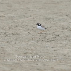 Charadrius semipalmatus (Semipalmated plover) at Comerong Island, NSW - 5 Oct 2019 by Charles Dove