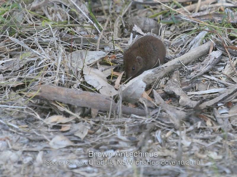 Antechinus stuartii at Ulladulla, NSW - 16 Oct 2019