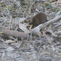 Antechinus stuartii (Brown Antechinus) at Ulladulla, NSW - 15 Oct 2019 by Charles Dove