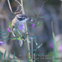 Melithreptus (Eidopsarus) brevirostris (Brown-headed Honeyeater) at Ulladulla, NSW - 15 Oct 2019 by Charles Dove