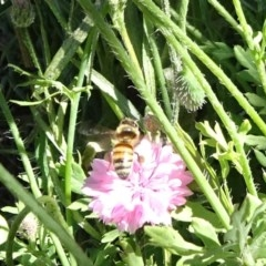 Apis mellifera (European honey bee) at National Arboretum Forests - 10 Nov 2019 by JanetRussell