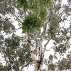 Callocephalon fimbriatum (Gang-gang Cockatoo) at Hughes Garran Woodland - 16 Nov 2019 by ruthkerruish