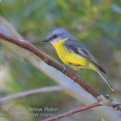 Eopsaltria australis (Eastern Yellow Robin) at Ulladulla, NSW - 15 Oct 2019 by CharlesDove