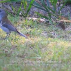 Colluricincla harmonica (Grey Shrike-thrush) at Ulladulla, NSW - 15 Oct 2019 by Charles Dove