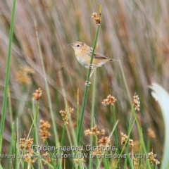 Cisticola exilis (Golden-headed Cisticola) at Milton, NSW - 31 Oct 2019 by Charles Dove