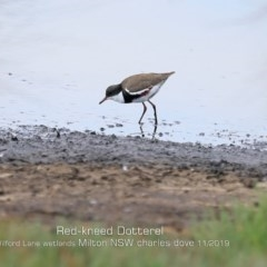 Erythrogonys cinctus (Red-kneed Dotterel) at Milton, NSW - 31 Oct 2019 by Charles Dove