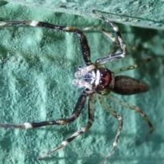 Helpis minitabunda (Jumping spider) at Spence, ACT - 16 Nov 2019 by Laserchemisty