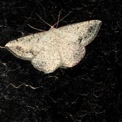 Taxeotis intextata (Looper Moth, Grey Taxeotis) at Aranda, ACT - 16 Nov 2019 by Jubeyjubes