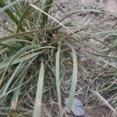 Lomandra longifolia (Spiny-headed Mat-rush, Honey Reed) at Garran, ACT - 16 Nov 2019 by JackyF