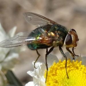 Rutilia sp. (genus) at Sth Tablelands Ecosystem Park - 14 Nov 2019