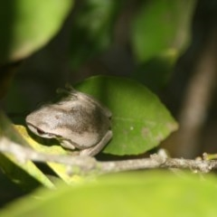 Litoria dentata (Bleating Tree Frog) at Quaama, NSW - 5 Feb 2009 by FionaG