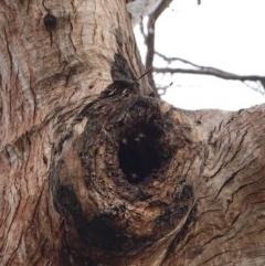 Apis mellifera (European honey bee) at Federal Golf Course - 16 Nov 2019 by JackyF