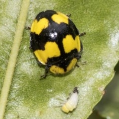 Illeis galbula (Fungus-eating Ladybird) at Higgins, ACT - 16 Nov 2019 by AlisonMilton