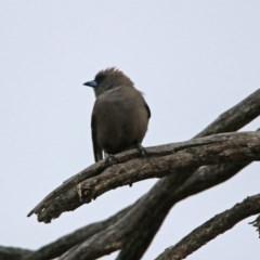 Artamus cyanopterus (Dusky Woodswallow) at Namadgi National Park - 16 Nov 2019 by RodDeb
