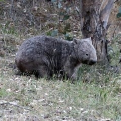 Vombatus ursinus (Wombat) at Namadgi National Park - 16 Nov 2019 by RodDeb