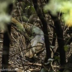 Ptilonorhynchus violaceus (Satin Bowerbird) at Federal Golf Course - 1 Nov 2019 by BIrdsinCanberra