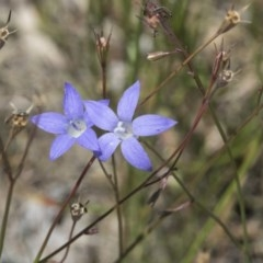 Wahlenbergia multicaulis (Tadgell's Bluebell) at Scullin, ACT - 17 Nov 2019 by AlisonMilton