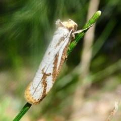 Philobota cretacea (A concealer moth) at Cotter Reserve - 16 Nov 2019 by HarveyPerkins