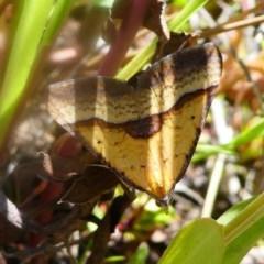 Anachloris subochraria (Golden Grass Carpet) at Cotter Reserve - 16 Nov 2019 by HarveyPerkins