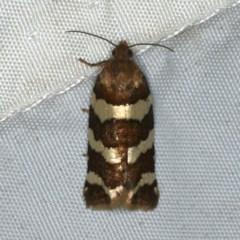 Subfurcatana subfurcatana (A Tortricid moth) at Rosedale, NSW - 16 Nov 2019 by jbromilow50