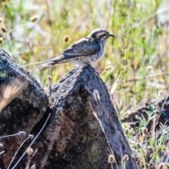 Chalcites basalis (Horsfield's Bronze-Cuckoo) at Wandiyali-Environa Conservation Area - 15 Nov 2019 by Wandiyali