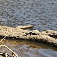 Chelodina longicollis (Eastern Long-neck Turtle) at Majura, ACT - 18 Nov 2019 by Melmc
