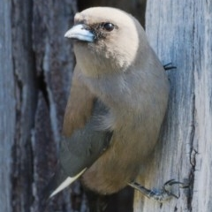 Artamus cyanopterus (Dusky Woodswallow) at Molonglo River Park - 17 Nov 2019 by Marthijn