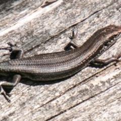 Pseudemoia entrecasteauxii (Woodland Tussock-skink) at Namadgi National Park - 15 Nov 2019 by SWishart