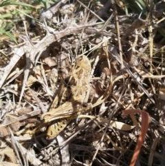 Perunga ochracea (Perunga grasshopper, Cross-dressing Grasshopper) at Dunlop, ACT - 15 Nov 2019 by EmmaCook