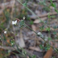 Mitrasacme polymorpha (TBC) at Wingecarribee Local Government Area - 17 Nov 2019 by Boobook38