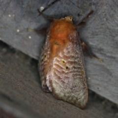 Doratifera quadriguttata (Four-spotted Cup Moth) at Rosedale, NSW - 15 Nov 2019 by jbromilow50